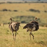 Ostriches,  Maasai Mara