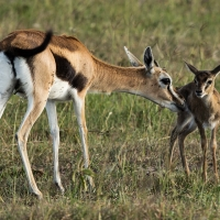 Newborn Thompsons Gazelle, Maasai Mara