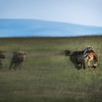 The chase, Maasai Mara