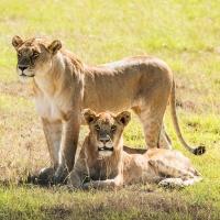 Young lionesses, Maasai Mara