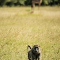 Baboon, Maasai Mara