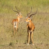 Impala, Maasai Mara