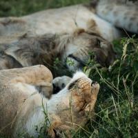 Sleeping pride, Maasai Mara