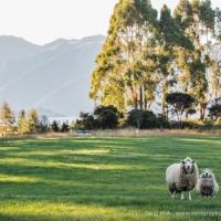 The token photo of NZ sheep