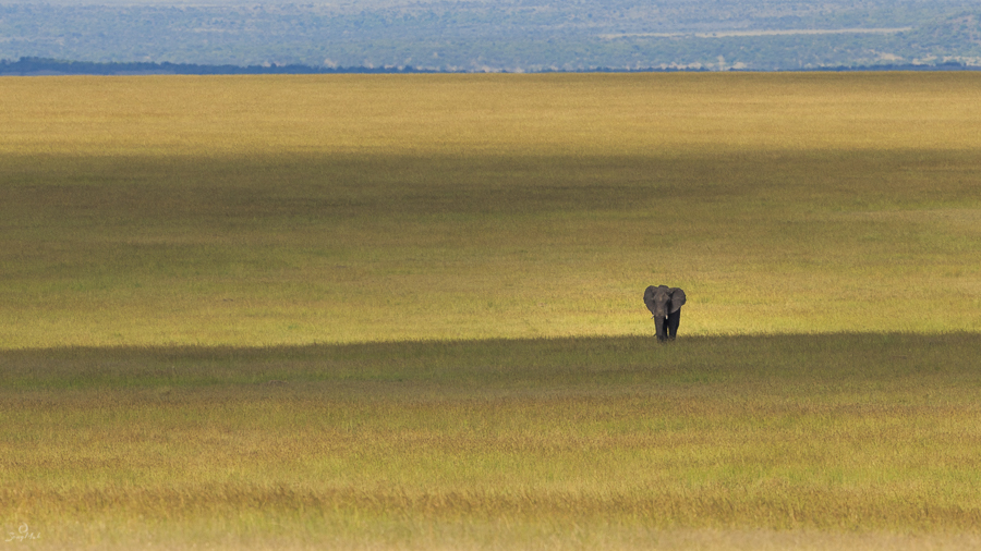 Elephant in the plains