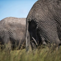 Elephant ends,  Maasai Mara