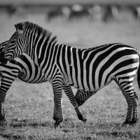 Zebras, Maasai Mara