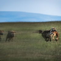 The chase, Maasai Mara