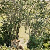 Male lion, Maasai Mara