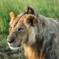 Young lion, Maasai Mara
