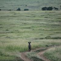 Hyena at dusk, Maasai Mara