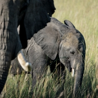 Baby elephant, Maasai Mara