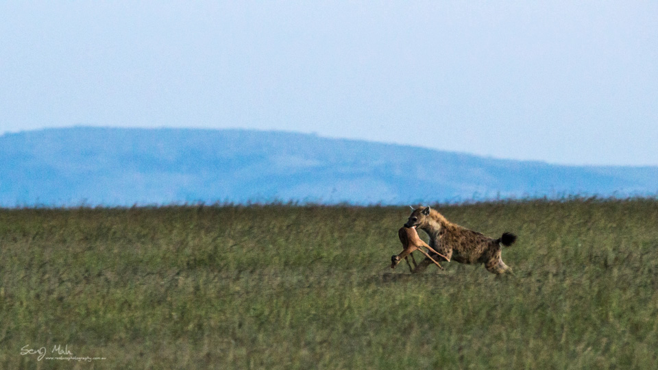 Hyena with kill, Masai Mara, Kenya