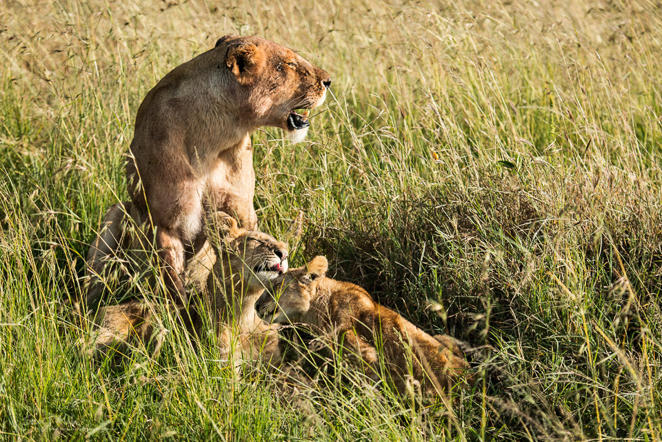Lion cubs in the Masai Mara, Kenya