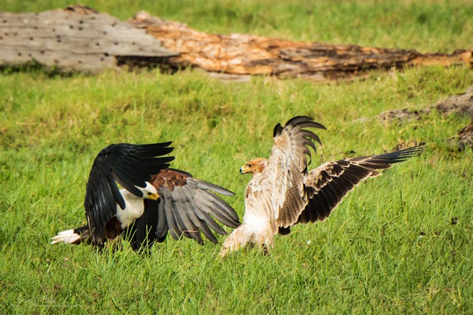 Fishing Eagle and Tawny Eagle fighting - Ol Pajeta Conservatory, Kenya