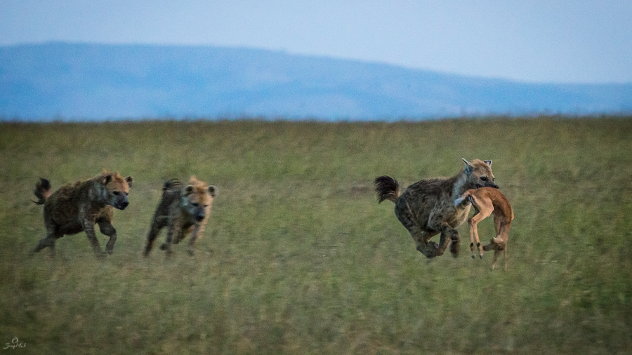 Hyenas with prey