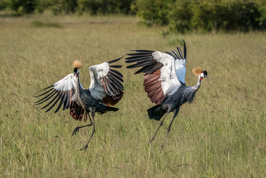 Dancing crowned cranes