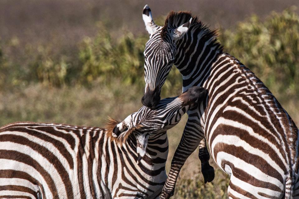 Duelling zebras