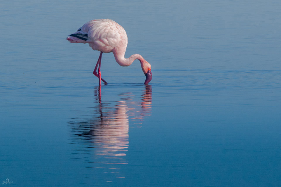 Flamingo at Lake Nakuru