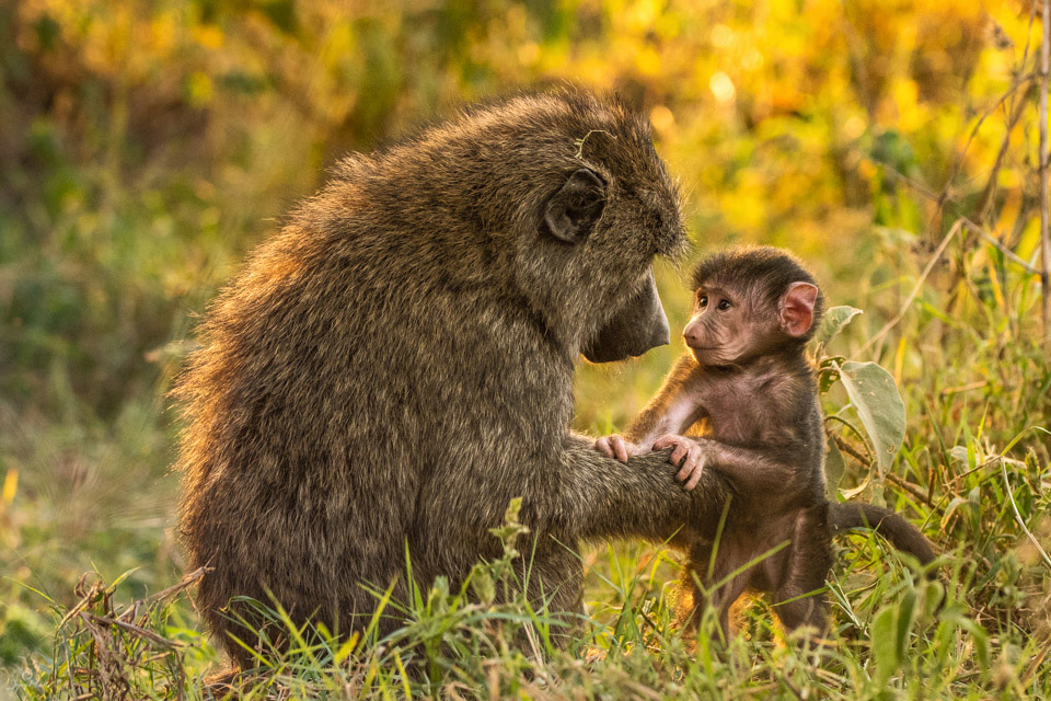 Mother baboon and baby