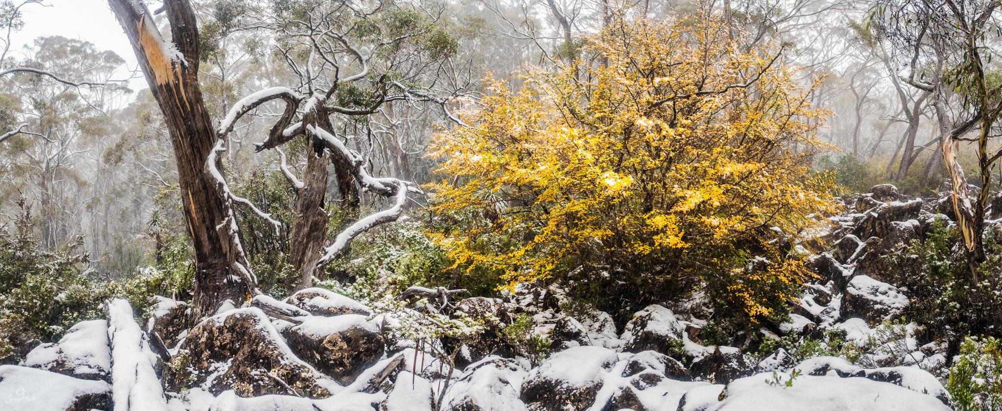 Fagus in the snow