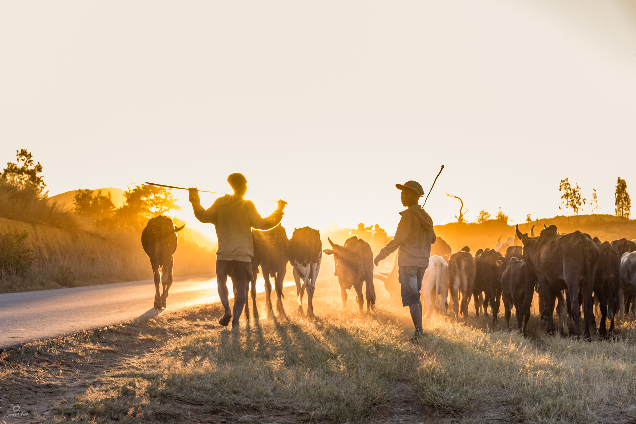 Zebu herders at sunset