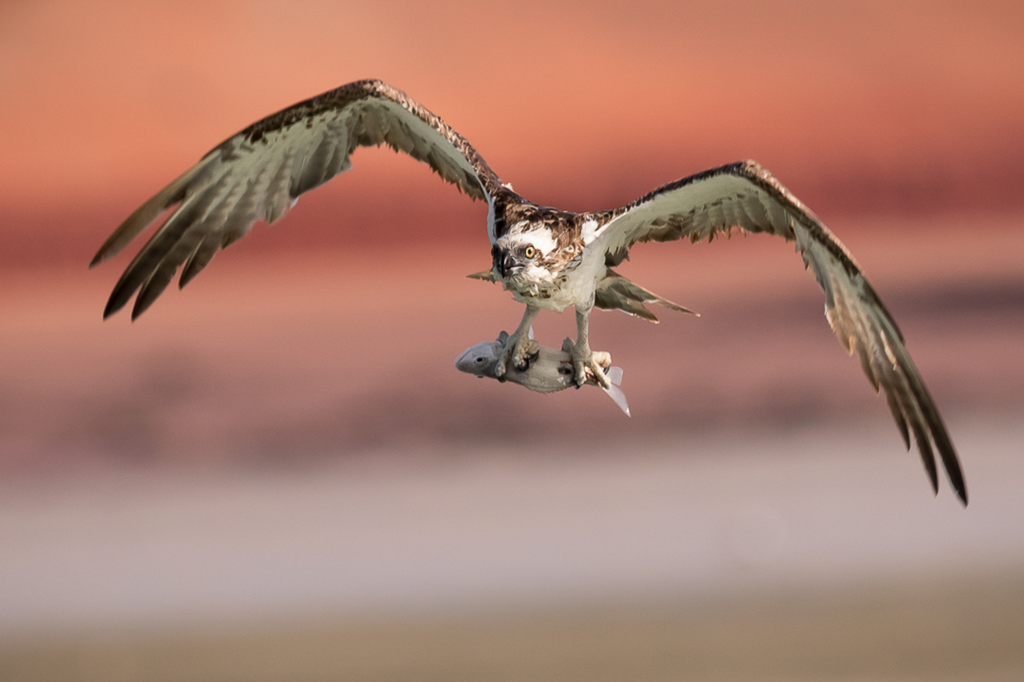 Raptor with fish