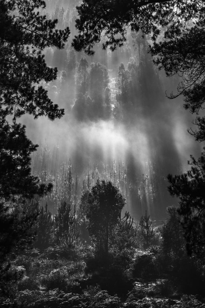 A dramatic black and white image of mist and light through the pine forests in Dwellingup.