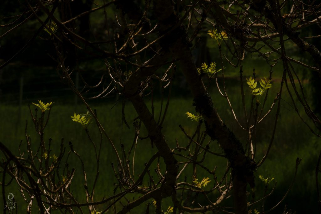 Backlit spring leaf buds growing out of a tree.
